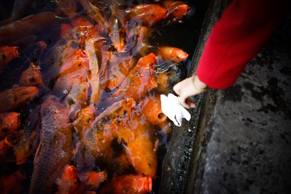 Feeding hungry carps at Xishuangbanna.
