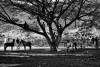 EXCLUSIVE, INDONESIA - May 26, 2013. Spectators watching horse racing exercises over the top of a tree on the island of Sumbawa, West Nusa Tenggara, Indonesia. Without any fear, children aged 5-9 race on horseback at up to 80km per hour. In Sumbawa Island, West Nusa Tenggara, a horseback racing tradition involves child jockeys. The talent for horseback racing is passed on from generation to generation. Children learn to let go of their fear, even with the very real risk of falling, becoming maimed, or dying during the race. The local government and parents consider this tradition an important part of their culture, which must be preserved. Even with all the risks and dangers involved, no one cares for the safety of these child jockeys. Not even standard safety horse riding gear is provided. Besides safety, there are other concerns for the welfare of these children. Preparation and training for the horse riding races interferes with their education. Each year there are at least ten horse races. Each racing event takes at least ten days. This adds up, and every year these child jockeys are missing 100 days of school. No one views the situation as exploitation of children. The children are paid a small fee for each race of around Rp 20,000 to 50,000 rupiah (two to five USD). But the real money involved is from the betting at each race, which is not monitored or banned by the authorities. Photograph by Romi Perbawa